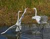 Description - Great Egrets Fighting <b>Title - My Territory</b> 3rd Place <i>- Michael Rosenbaum</i></b>