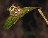Description - Saddleback Caterpillar - Spines Give Nasty Sting! <b>Title - Saddleback Caterpillar</b> Honorable Mention <i>- Kathleen Fosselman</i>