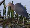 Description - Little Blue Heron with Fish <b>Title - I Got It!</b> <i>- Arnold Dubin</i>