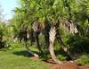 Description - Cabbage Palm Path <b>Title - Palm Path</b> <i>- Charlotte Rasmussen</i>
