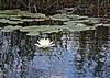 Description - White Water Lily and Pads a la Giverny <b>Title - Lilypads a la Giverny</b> <i>- Martin Fitzgerald</i>