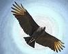 Description - Black Vulture in Flight <b>Title - Soaring</b> <i>- Don Durfee</i>
