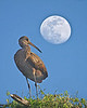 Description - Limpkin and Moon <b>Title - Limpkin Moon</b> <i>- Don Mullaney</i>