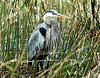 Description - Great Blue Heron in Cattails <b>Title - Patiently Waiting</b> <i>- Sandy Jarvinen</i>