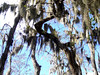 Description - Cypress Trees with Spanish Moss <b>Title - Sky Moss</b> <i>- Michael Watkins</i>