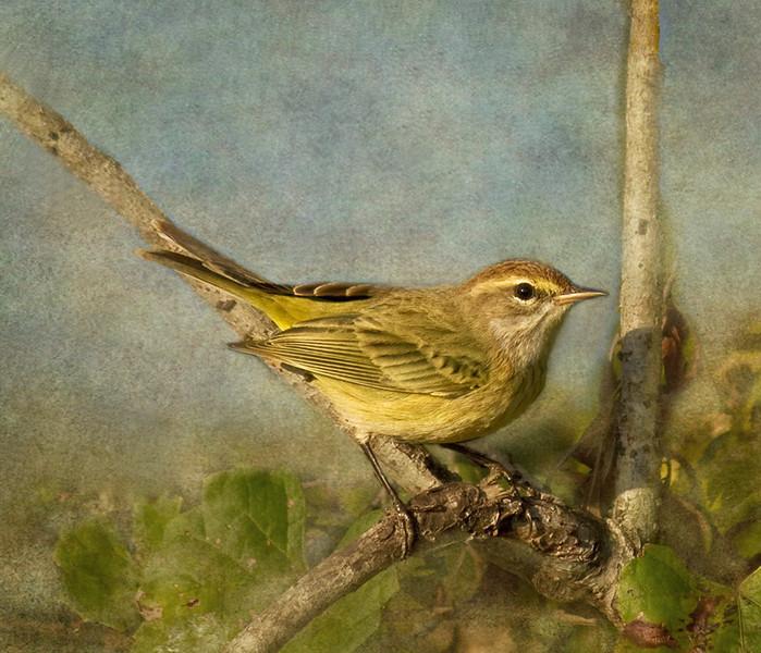 Description - Palm Warbler <b>Title - Palm Warbler</b> 1st Place <i>- Melinda Moore</i>