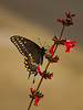 Description - Palamedes Swallowtail Butterfly on Scarlet Sage (Red Salvia) <b>Title - Swallowtail on Scarlet Sage</b> 3rd Place <i>- Melinda Moore</i>