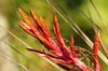 Description - Cardinal Air Plant Flower Bracts<br> <b>Title - Air Plant</b><br> <i>- Janet Robinson</i>
