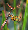 Description - Halloween Pennant Dragonflies <b>Title - Loxahatchee Boynton Double Dragonfly</b> <i>- Larry Crutcher</i>