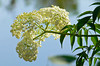 Description - Elderberry <b>Title - Elderberry Wine In The Making</b> <i>- Rick Schofield</i>