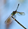 Description - Blue Dasher Dragonfly <b>Title - Just Resting</b> Honorable Mention <i>- Arnold Dubin</i>
