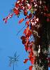 Description - Red Fall Leaves of Virginia Creeper <b>Title - Natural Contrast</b> <i>- Bill Burnett</i>