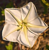 Description - Moonflower <b>Title - Morning Glory Petal</b> <i>- Leonard Friedman</i>
