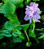 Description - Water Hyacinth (Invasive Exotic) <b>Title - Loxahatchee  Hillsboro Floral</b> <i>- Larry Crutcher-</i>