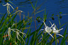 Description - String and Spider Lilies <b>Title - Lilies Both String And Spider</b> <i>- Rick Schofield</i>