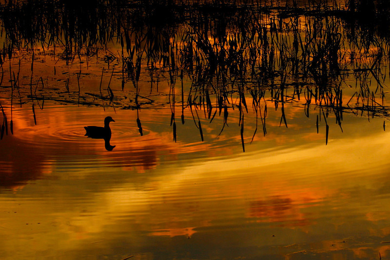 Description - Common Moorhen at Sunset <b>Title - Reflected Sunset</b> 1st Place <i>- Kerry Maxwell</i>