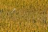 Description - Great Egret in Pickerel Weed <b>Title - Morning Hunt</b> <i>- Don Mullaney</i>