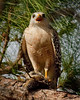 Description - Red-shouldered Hawk with Bird Prey <b>Title - Hawks' Dinner - Dinner's Ready</b> 1st Place <i>- Melinda Moore</i>