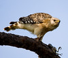 Description - Red-shouldered Hawk with Bird Prey <b>Title - Hawks' Dinner - All Mine</b> 1st Place <i>- Melinda Moore</i>