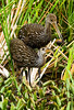 Description - Limpkins with Apple Snail <b>Title - Limpkin Finds </b> Honorable Mention <i>- Ed Mattis</i>