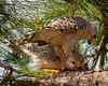 Description - Red-shouldered Hawks Sharing Prey <b>Title - Hawks' Dinner - Let's Share</b> 1st Place <i>- Melinda Moore</i>