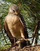 Description - Red-shouldered Hawk with Bird Prey <b>Title - Hawks' Dinner - Where's The Beef</b> 1st Place <i>- Melinda Moore</i>