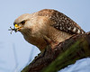 Description - Red-shouldered Hawk Eating Bird <b>Title - Hawks' Dinner - Gee Thanks! </b> 1st Place <i>- Melinda Moore</i>