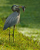 Description - Great Blue Heron with Armored Catfish (Alien Species) <b>Title - Breakfast</b> <i>- Don Durfee</i>