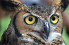 Description - Great Horned Owl <b>Title - Golden Eyes</b> <i>- Adrienne Bergen</i>