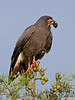 Description - Snail Kite on Cypress Tree with Apple Snail <b>Title - Got It</b> <i>- Arnold Dubin</i>