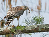Description - Red-shouldered Hawk with Anole Lizard <b>Title - Just A Snack</b> <i>- Curt Dalton</i>