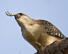 Description - Red-shouldered Hawk Eating Bird <b>Title - Claw in the Maw</b> 2nd Place <i>- Melinda Moore</i>