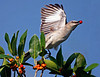 Description - Northern Mockingbird on Dahoon Holly Tree <b>Title - Mockingbird</b> Honorable Mention <i>- Tom Rasmussen</i>