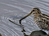 Description - Wilson's Snipe <b>Title - A Ripple In The Water</b> 3rd Place <i>- Curt Dalton</i>