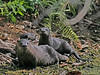 Description - Family of Otters <b>Title - A Family Of Otters</b> <i>- Curt Dalton</i>