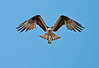Description - Osprey in Flight <b>Title - Hawk Stall</b> Honorable Mention <i>- Ed Mattis</i>