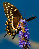 Description - Palamedes Swallowtail Butterfly on Purple Loosestrife <b>Title - Everglades Beauty</b> Honorable Mention <i>- Don Durfee</i>
