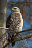 Description - Red-shouldered Hawk on Cypress Branch <b>Title - Red-shouldered Hawk</b> <i>- Apryl Wiese</i>