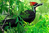 Description - Pileated Woodpecker Eating Elderberry <b>Title - Berry Picker</b> <i>- Don Durfee</i>