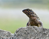 Description - Curly-tailed Lizard <b>Title - Lizard</b> 1st Place <i>- Kit Snider</i>