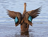 Description - Mottled Duck Taking Flight <b>Title - Mottled Duck</b> Honorable Mention <i>- Tom Rasmussen</i>