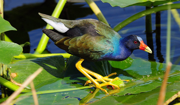 Water Birds - Ducks, Gallinules, Moorhens, Coots, Grebes