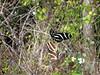 Description - Zebra Longwing Butterflies Mating <b>Title - Butterflies</b> <i>- Alex Edoff</i>