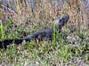 Description - Alligator - Young, 2-3 Years Old <b>Title - Baby Alligator</b> <i>- Alex Edoff</i>