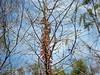 Description - Virginia Creeper and Cypress Seed Pods <b>Title - Cypress Seed  Harvest</b> <i>- Alex Edoff</i>