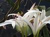 Description - String Lilies <b>Title - Flower</b> <i>- Alex Edoff</i>
