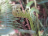 Description - Fiddlehead Stage of a Fern <b>Title - Fern Focus</b> <i>- John Sutor</i>