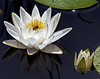 Description - White Water Lily <b>Title - Water Lily</b> Honorable Mention <i>- Ed Mattis</i>