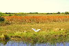 Description - Great Egret in Marsh Plants <b>Title - Impressionist Look at Loxahatchee Refuge</b> <i>- Anwar Muqbel</i>