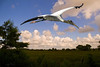 Description - Wood Stork in Flight <b>Title - Woodie</b> <i>- Don Durfee</i>